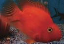 Peixe-Papagaio, híbrido curioso e dócil