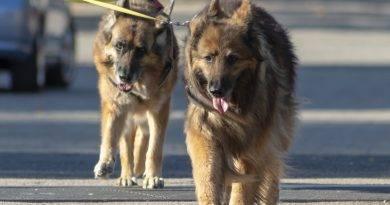 Cães peludos: conheça as características e curiosidades das raças mais fofas